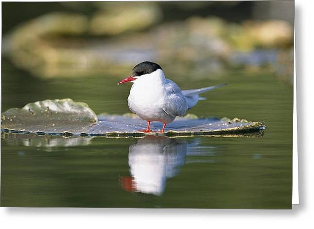 Tern Greeting Cards - Arctic Tern On Lily Pad Reflected Greeting Card by Johnny Johnson