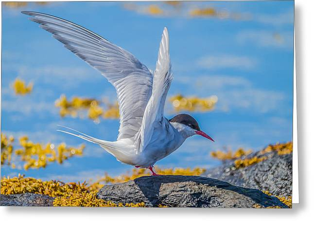 Arctic Terns Greeting Cards - Arctic Tern Sterna Paradisaea, Flatey Greeting Card by Panoramic Images