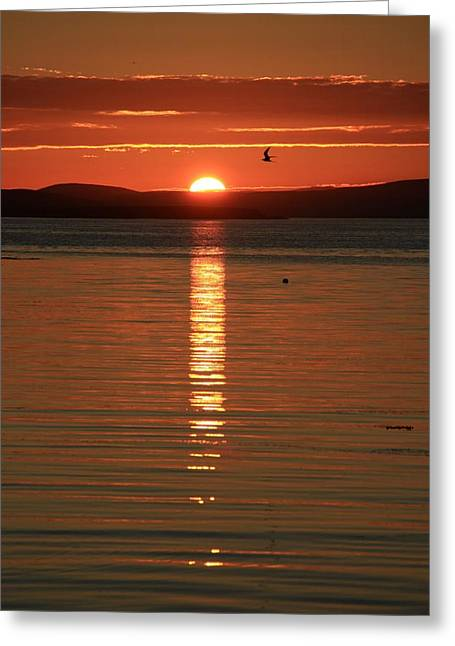 Tern Greeting Cards - Arctic Tern Sterna Paradisaea In The Sunset Greeting Card by Anne Macdonald