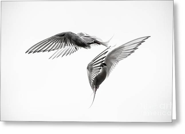 Seabirds Photographs Greeting Cards - Arctic Tern - sterna paradisaea - Pas de deux - Black and White Greeting Card by Ian Monk