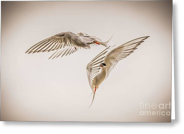 Arctic Terns Greeting Cards - Arctic Tern - sterna paradisaea - Pas de deux -hdr Greeting Card by Ian Monk