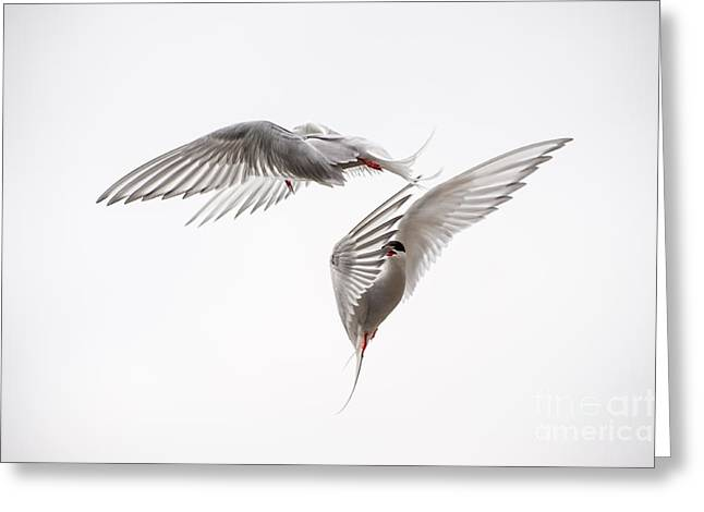 Seabirds Photographs Greeting Cards - Arctic Tern - sterna paradisaea - Pas de deux  Greeting Card by Ian Monk