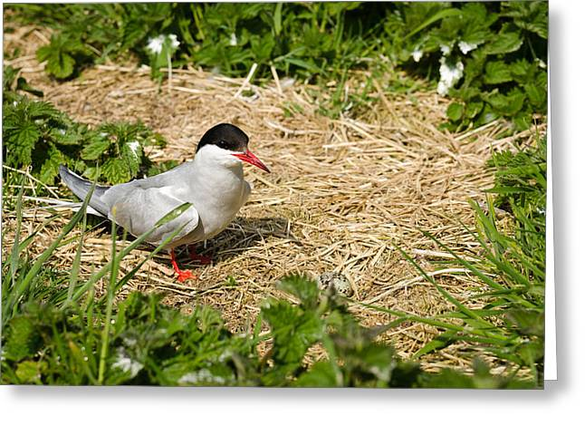 Seabirds Greeting Cards - Arctic Tern with egg in nest Greeting Card by David Head