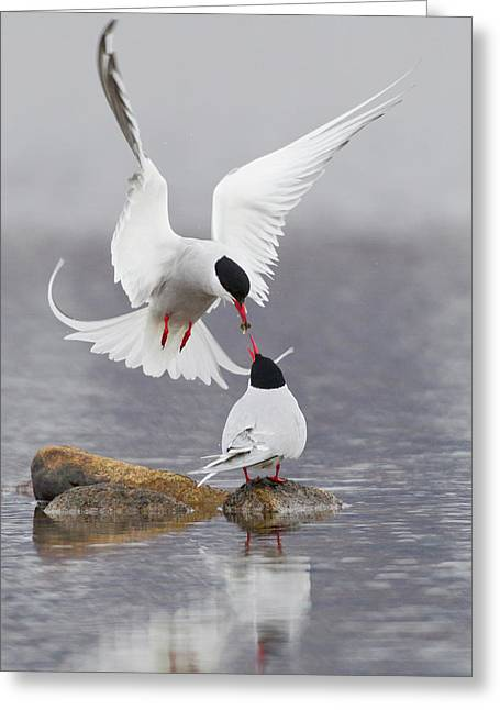 Arctic Terns, Courtship Greeting Card by Ken Archer