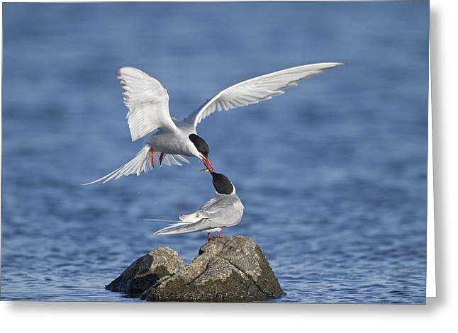 Arctic Terns Greeting Cards - Arctic Terns Courtsing Outer Hebrides Greeting Card by Dickie Duckett