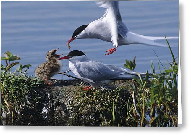 Hungry Chicks Greeting Cards - Arctic Terns Feeding Chick At Potter Greeting Card by Doug Lindstrand
