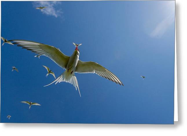Seabirds Photographs Greeting Cards - Arctic Terns Sterna Paradisaea, Flatey Greeting Card by Panoramic Images