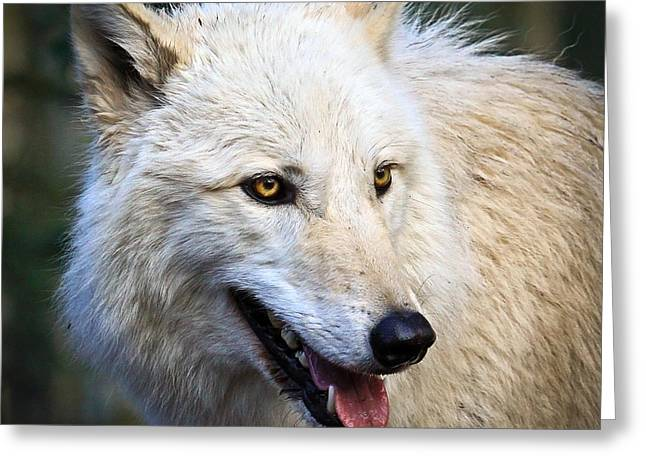 Preditor Greeting Cards - Arctic White Wolf Greeting Card by Steve McKinzie
