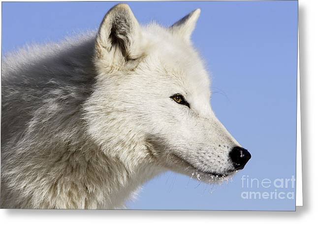 Arctic Dog Greeting Cards - Arctic Wolf, Canis Lupus Arctos Greeting Card by M. Watson