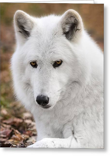 Beautiful Face Wolf Greeting Cards - Arctic wolf Greeting Card by Eduard Moldoveanu