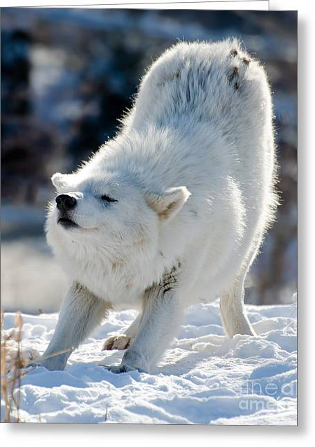 Hairy Wolf Greeting Cards - Arctic wolf stretching Greeting Card by Les Palenik