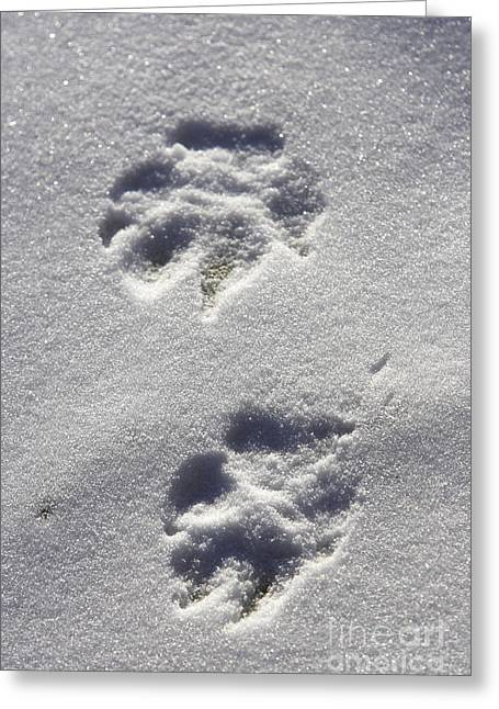 Arctic Wolf Greeting Cards - Arctic Wolf Tracks Greeting Card by M. Watson