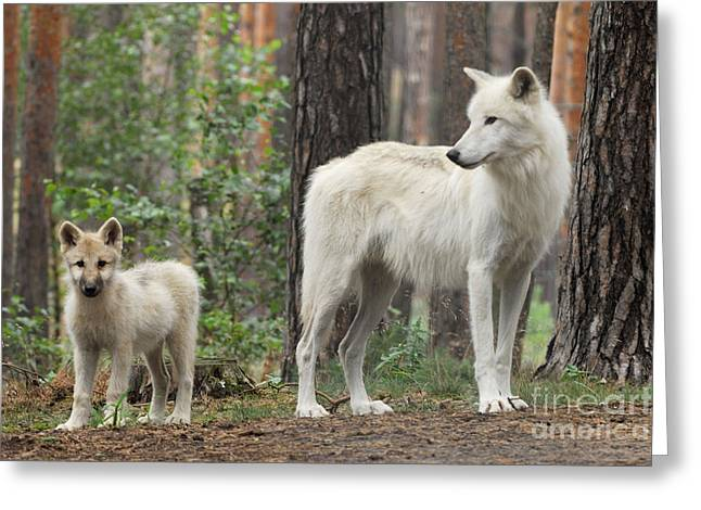Arctic Wolf Greeting Cards - Arctic Wolf With Pup, Canis Lupus Albus Greeting Card by Stefan Meyers