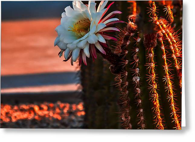 Argentine Cactus Greeting Card by Robert Bales