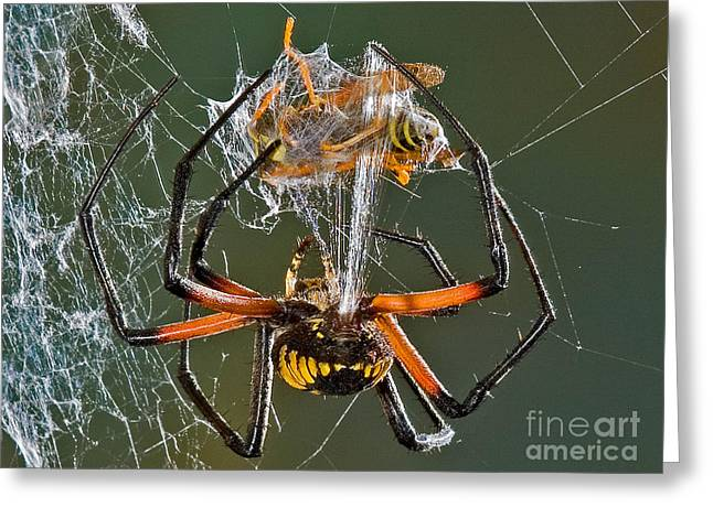 Bug Framed Prints Greeting Cards - Argiope Spider Wrapping a Hornet Greeting Card by Jerry Fornarotto