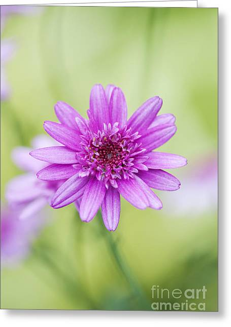 Marguerite Flowers Greeting Cards - Argyranthemum Madeira Crested Pink Daisy Greeting Card by Tim Gainey