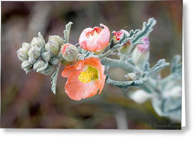 Sphaeralcea Greeting Cards - Arizona Globemallow Greeting Card by Aaron Burrows