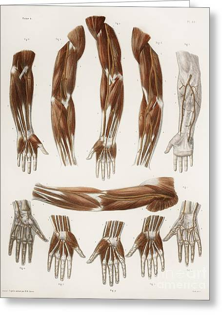 Hand-colored Lithograph Greeting Cards - Arm Anatomy, Historical Artwork Greeting Card by Spl