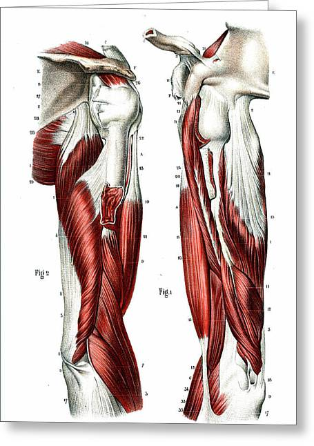 Arm Muscles Greeting Card by Collection Abecasis
