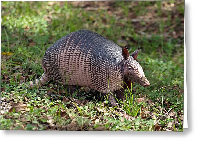 Nocturnal Animal Print Greeting Cards - Armadillo Greeting Card by Mary Vandenberg