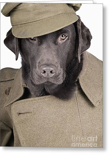 Chocolate Lab Greeting Cards - Army Dog Greeting Card by Justin Paget