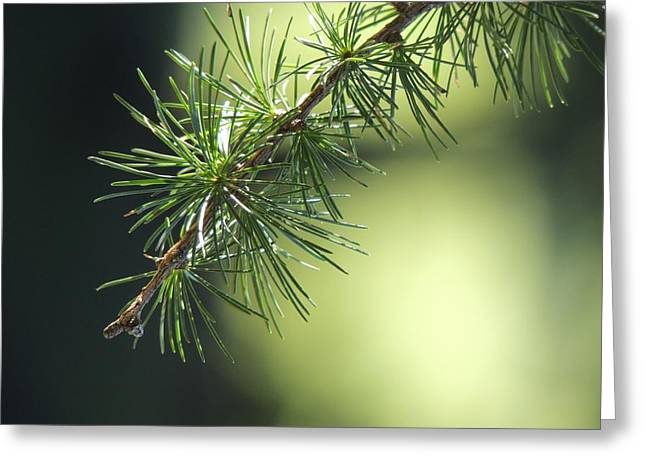 Fir Trees Greeting Cards - Aroma of Pine Greeting Card by Mountain Dreams