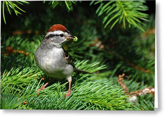 Chipping Sparrow Greeting Cards - Around The Nest Greeting Card by Christina Rollo