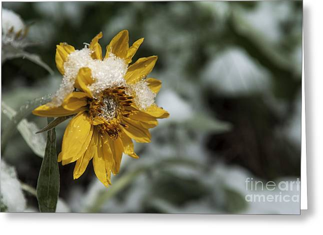Harsh Conditions Greeting Cards - Arrowleaf Balsamroot in Snow Greeting Card by Wildlife Fine Art