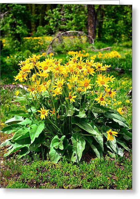 Grand Teton National Park Greeting Cards - Arrowleaf Balsamroot Wildflowers Greeting Card by Greg Norrell