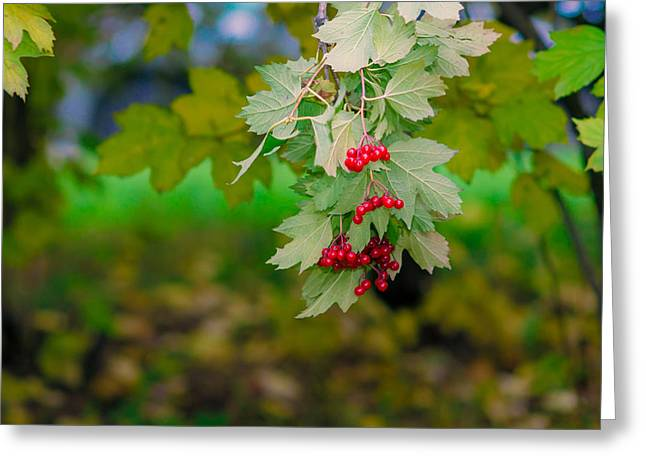 Autum Abstract Greeting Cards - Arrowwood berries 2 Featured 3 Greeting Card by Alexander Senin