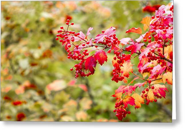 Arrow-leaf Greeting Cards - Arrowwood Berries - Featured 3 Greeting Card by Alexander Senin