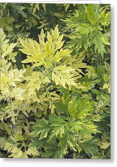 Limelight Photographs Greeting Cards - Artemisia vulgaris Oriental limelight Greeting Card by Science Photo Library