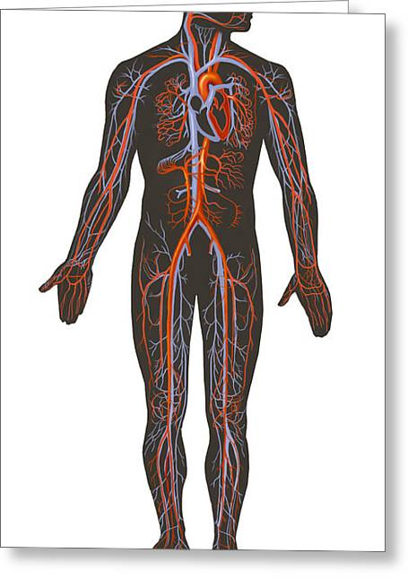 Digital Artery Greeting Cards - Arteries And Veins Of The Human Body Greeting Card by TriFocal Communications