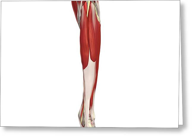 Tibial Nerve Greeting Cards - Arteries, Nerves, Muscles Of Leg Greeting Card by Medical Images, Universal Images Group