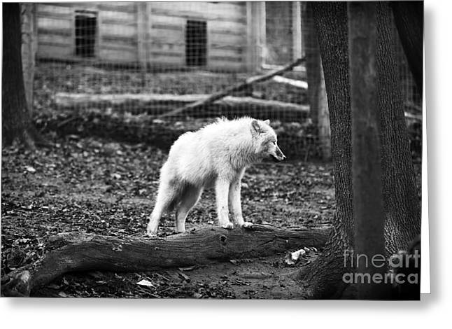 Arctic Wolf Greeting Cards - Arctic Wolf Greeting Card by John Rizzuto