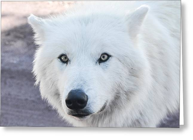 Bearizona Greeting Cards - Acrtic Wolf Greeting Card by Pamela Schreckengost