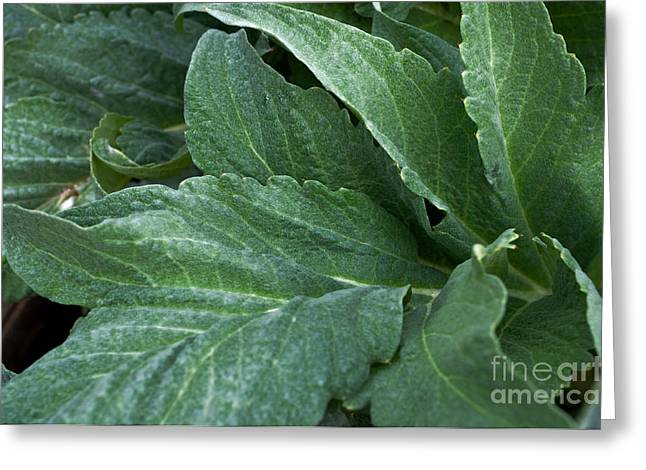Home Grown Greeting Cards - Artichoke Flora Greeting Card by Gwyn Newcombe