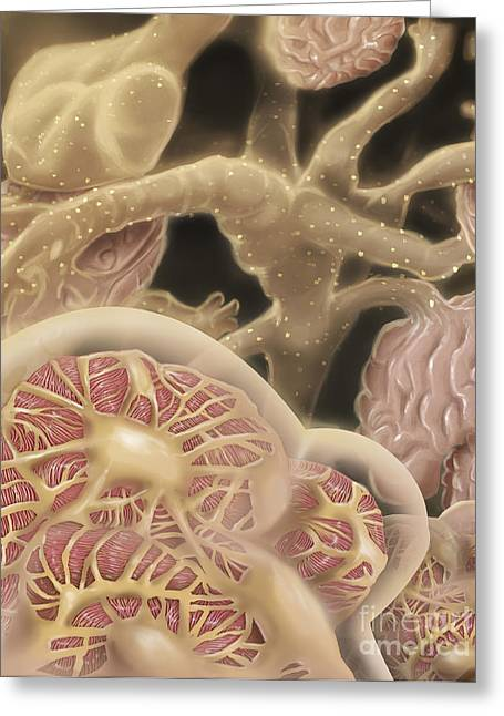 Capsule Greeting Cards - Artist Depcition Of Glomerulus Greeting Card by Alan Gesek