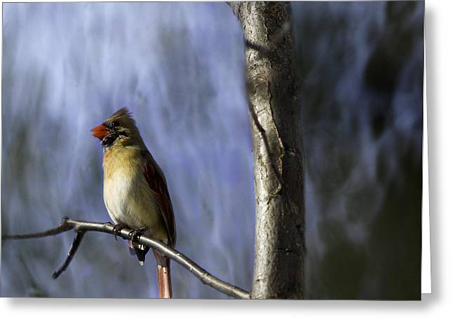 Female Northern Cardinal Greeting Cards - Artistic Female Northern Cardinal Greeting Card by Thomas Young
