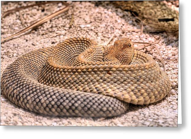 Rattle Snakes Greeting Cards - Aruba Rattlesnake  Greeting Card by JC Findley