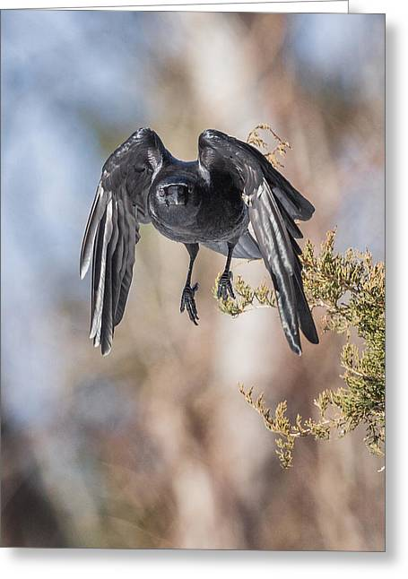 American Crow Greeting Cards - As The Crow Flies Greeting Card by Bill  Wakeley