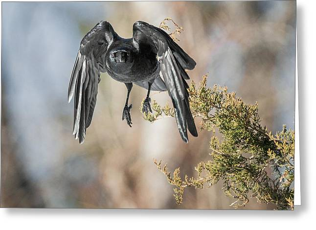 American Crow Greeting Cards - As The Crow Flies Square Greeting Card by Bill  Wakeley