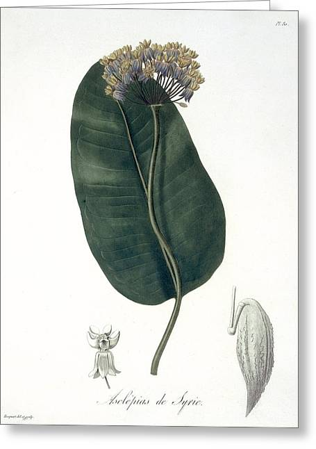 Botany Greeting Cards - Asclepias Syriaca From Phytographie Greeting Card by L.F.J. Hoquart