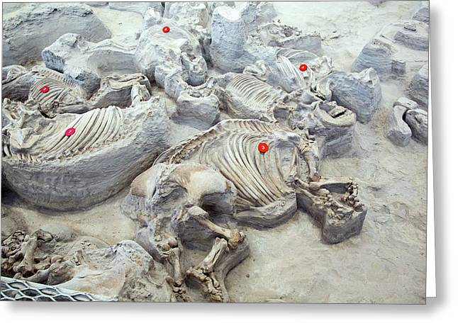 Ashfall Fossil Beds Fossils Greeting Card by Jim West