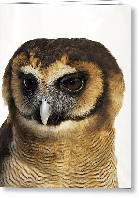 Asian Brown Wood Owl Greeting Card by Skip Willits
