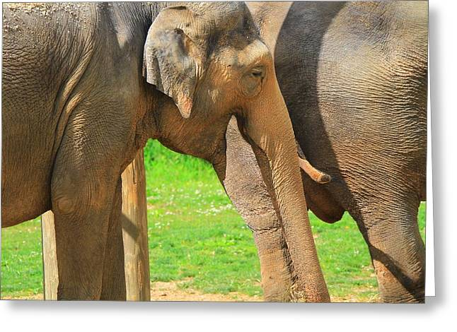 Elephant Photographs Greeting Cards - Asian Elephants Greeting Card by Dan Sproul