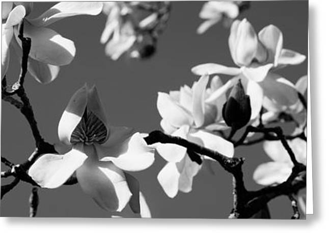 Blooms Greeting Cards - Asian Magnolia Blossoms Ca Greeting Card by Panoramic Images