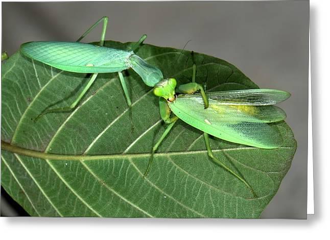 Asian Mantis Eating Her Mate Greeting Card by K Jayaram