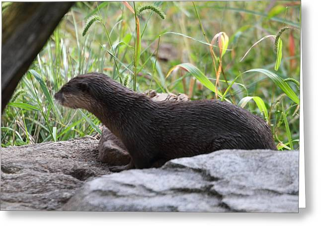 Asian Small Clawed Otter - National Zoo - 01138 Greeting Card by DC Photographer