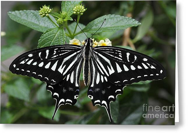 Eating Entomology Greeting Cards - Asian Swallowtail Butterfly Greeting Card by Judy Whitton